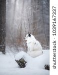 Small photo of White fox on nature in the snow in winter