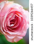 Small photo of Front vie wof elegant romantic rose - extreme macro shopt upcoming spring in love