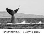 huge whale tail in hawaiian... | Shutterstock . vector #1039411087