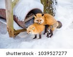 Stock photo fox breeding animal breeding which is male and female were mixed breed each other every february 1039527277