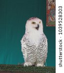 Small photo of White snowy owl in wildlife stall at Moroccan market in Almeria, Spain