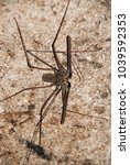 Small photo of Spider in african cave - Amblypygi.