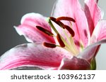 Lily Pink Flower