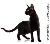 serengeti thoroughbred cat on a ... | Shutterstock . vector #1039626553