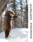 Small photo of Dead Russian Barguzin sable, a marten species valued for its expensive fur, in a humane instant kill trap in taiga forest in Siberia in winter