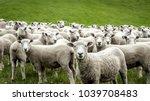 Flock Of Staring Sheep