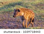 brown hyena in search of prey.... | Shutterstock . vector #1039718443