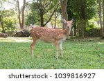 chital spotted deer is standing ... | Shutterstock . vector #1039816927