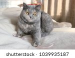 gray british sweet cat cute | Shutterstock . vector #1039935187
