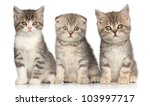 Stock photo group of scottish kitten posing on a white background 103997717