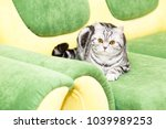 british shorthair kitty  color... | Shutterstock . vector #1039989253