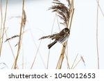 male reed bunting on a reed... | Shutterstock . vector #1040012653