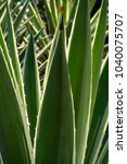 Small photo of Tropical healing plant from the aloe family