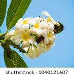 rangipani plumeria spa flowers... | Shutterstock . vector #1040121607