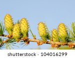 Ovulate cones of larch tree, spring, May - stock photo