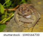 close up common toad amphibians ... | Shutterstock . vector #1040166733