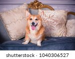 senior dog corgi pembroke breed ... | Shutterstock . vector #1040306527
