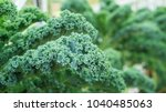 close up of green curly kale... | Shutterstock . vector #1040485063