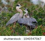 great blue heron chicks  ardea...   Shutterstock . vector #1040547067