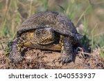 european bog turtle  emys... | Shutterstock . vector #1040553937