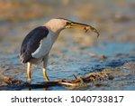 little bittern  ixobrychus... | Shutterstock . vector #1040733817