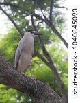 a black crowned heron standing... | Shutterstock . vector #1040845093
