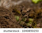 Small photo of Alopecosa sp. (wolf spider)