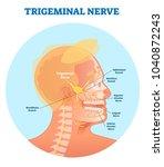 trigeminal nerve anatomical... | Shutterstock .eps vector #1040872243