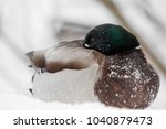 the duck heats a beak  in cold... | Shutterstock . vector #1040879473