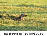 brown hyena sleeping on the... | Shutterstock . vector #1040960953
