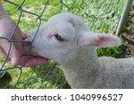 a white lamb snuggles into the... | Shutterstock . vector #1040996527