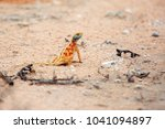Small photo of The ground agama (Agama aculeata) in the african desert.