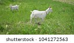 Two White Goats Grass On Green...