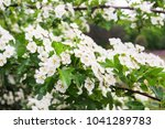 flowering hawthorn with leaves | Shutterstock . vector #1041289783