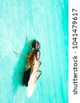 Small photo of Formicidae,Winged ants,Camponotus pennsylvanicus ,Hymenoptera
