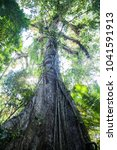 the kapok tree or ceiba is one... | Shutterstock . vector #1041591913