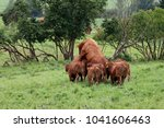 bull mating with suckler cow ... | Shutterstock . vector #1041606463