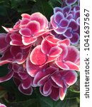 close up pink hydrangea on... | Shutterstock . vector #1041637567