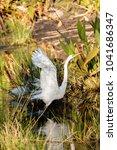 flying great egret bird ardea...   Shutterstock . vector #1041686347