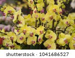 Many Branches Of Yellow Orchid...