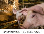 dirty pig in organic farm in... | Shutterstock . vector #1041837223