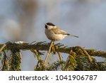marsh tit  poecile palustris ....   Shutterstock . vector #1041906787