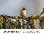 marsh tit  poecile palustris ....   Shutterstock . vector #1041906793