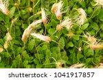 Small photo of Dryas octopetala or white dryas or white dryad or eightpetal mountain-avens green arctic–alpine plant