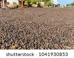 coffee beans in the bolaven... | Shutterstock . vector #1041930853