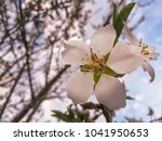 Small photo of Blooming almond tree. Almond tree flower.