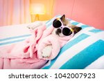 cool funny  poodle dog resting... | Shutterstock . vector #1042007923