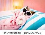cool funny  poodle dog resting... | Shutterstock . vector #1042007923