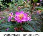 Closeup Purple Flower Of India...
