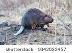 ordinary beaver  or river... | Shutterstock . vector #1042032457